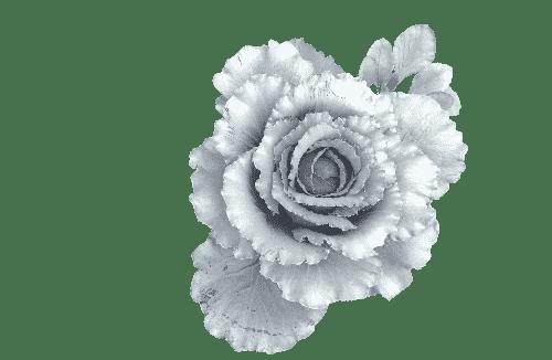Cabbage for Lynda Carpenter